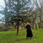 Is Whitby Jet Monkey Puzzle wood?